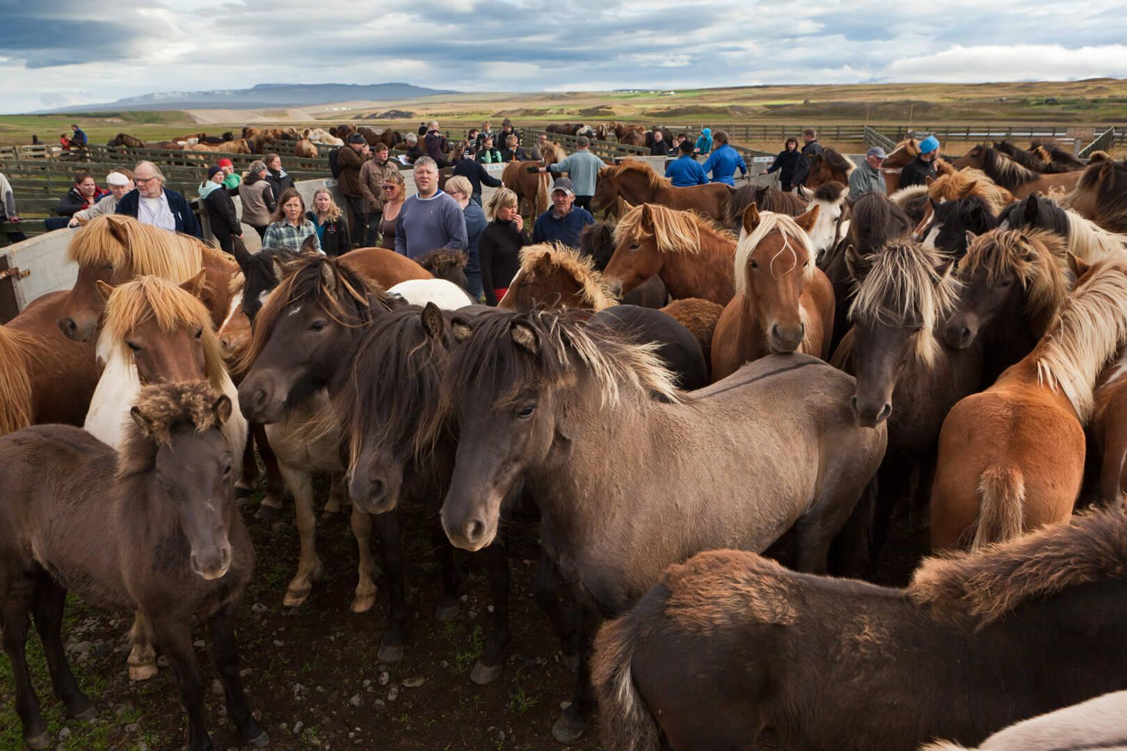 Island, Pferdeabtrieb